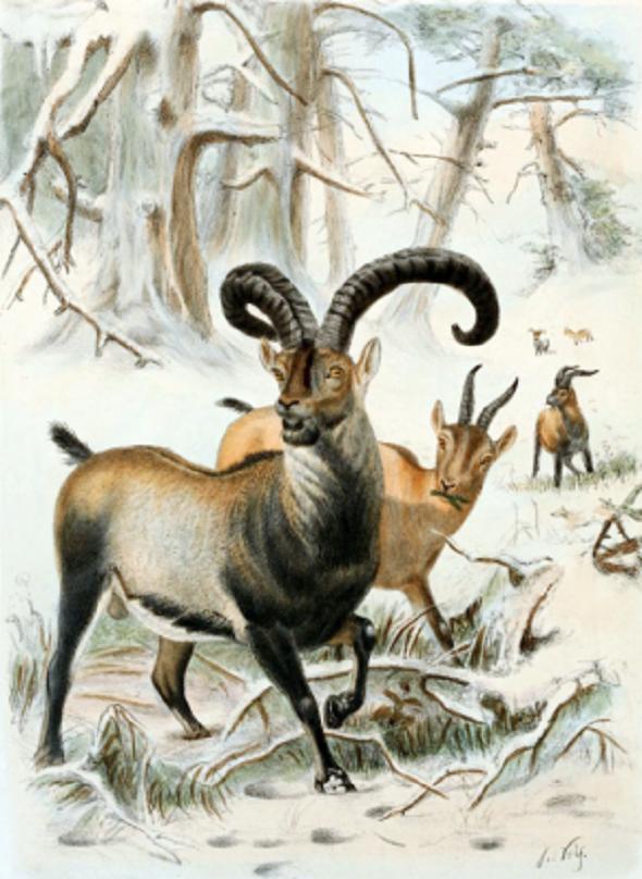 Ibexul din Pirinei