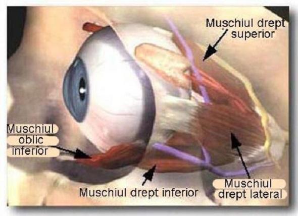 Muschii ochiului