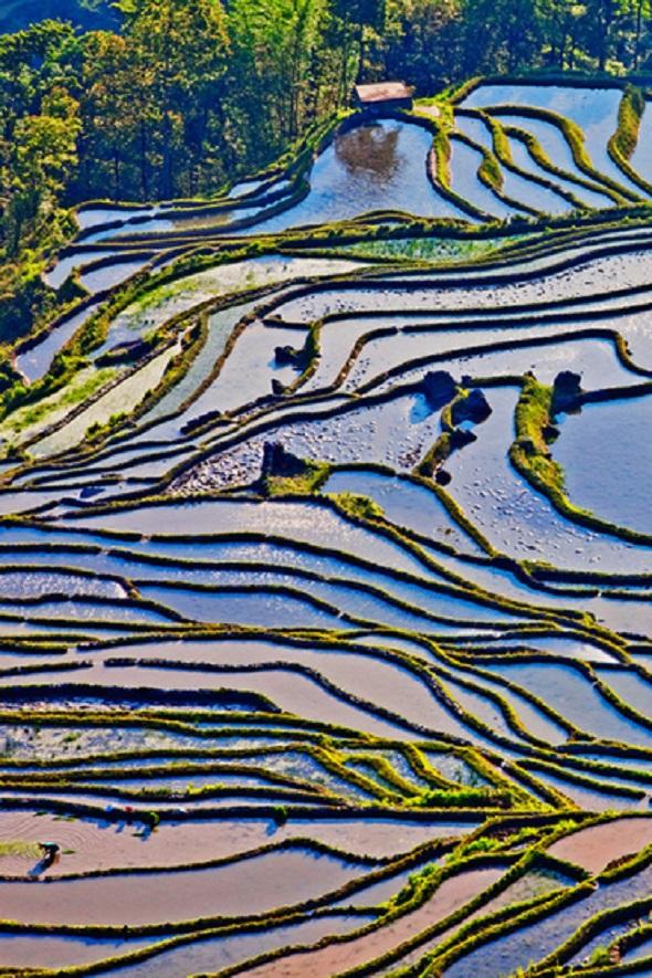 o imagine de la înălţime asupra unor orezării Yuanyang, China. Terasele acoperite cu orez, în diferite forme şi la diferite înălţimi, dau impresia unui tablou atent pictat