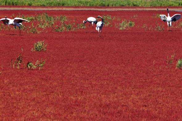 Continuăm cu China, pentru a ajunge pe plaja Red Beach din Panjin. Culoarea ciudată a solului este dată de algele marine care se transformă din verzi în roşii-ruginii odată cu primele zile ale toamnei