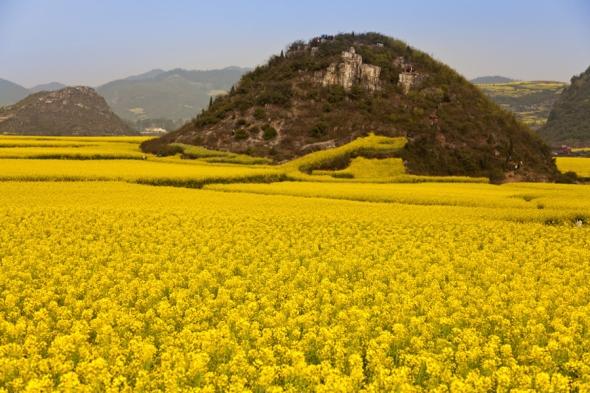O mare de flori galbene: asta e impresia pe care o dă câmpul de flori surprins în fotografii în China, în provincia Yunnan