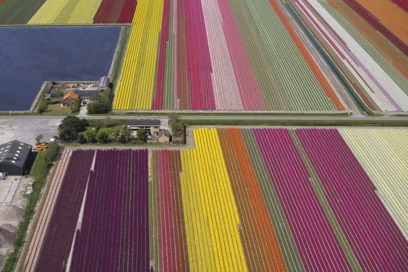 Câmpurile de lalele din nordul Olandei