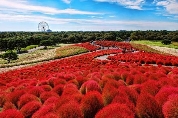 Hitachi Seaside Park, Ibaraki, Japonia: în acest parc imens sunt plantaţi peste 30.000 de bulbi de kochia, care se transformă din verde în roşu la început de octombrie