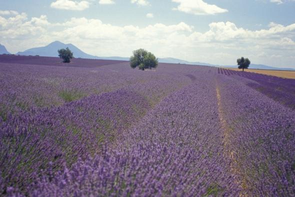 Câmpurile de lavandă din Provence sunt mereu motive perfecte de visare. Aici, un câmp de lavandă din Valensole