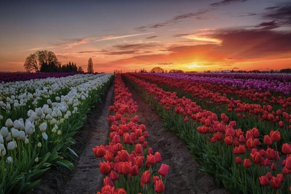 Lalelele nu cresc doar în Olanda: în Woodburn, Oregon, fermele de lalele arată cam aşa