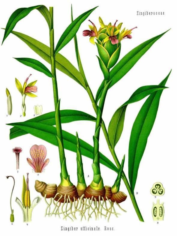 re_Zingiber_officinale_-_Köhler–s_Medizinal-Pflanzen-146