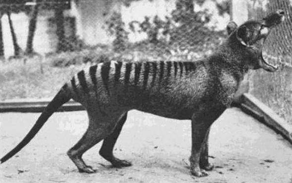 Lup marsupial aflat pe care de dispariție, 1933